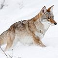 Coyote Winter by Athena Mckinzie