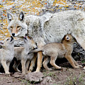 Coyotes by Reva Dow