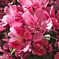 Crab Apple Blossoms 04302015-1 by Doug Morgan