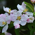 Crab Apple Blossoms  by Deborah Bowie