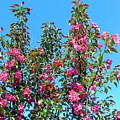 Crab Apple Blossoms by Will Borden