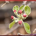 Crab Apple Buds by Wendy Fox