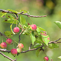 Crab Apple Fruit by Bob Corson