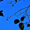 Crab Apples Blue Sky 6510 by Jerry Sodorff