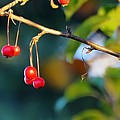 Crab Apples Branches P 6543 by Jerry Sodorff