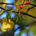 Crab Apples Leaves 6498 by Jerry Sodorff