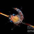 Crab Zoea by Dant� Fenolio