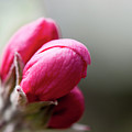 Crabapple Buds by Gary Chapple