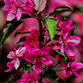 Crabapple Tree Blossoms by Dale Kauzlaric