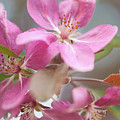Crabapple Tree  Pink Flowers by Jenny Rainbow