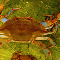Crabby by Shannon Jones