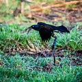 Grackle In The Morning  by Jan M Holden