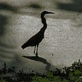 Crane Reflections by Judy  Waller