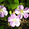 Cranesbill by Peggy King