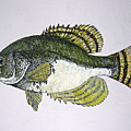 Crappie Fish Of Usa  by Don Seago