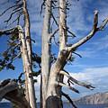 Crater Lake Tree by Carol Groenen