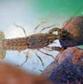 Crayfish by Buddy Mays