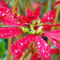 Crazy Dewy Red Flower by Amy Fose