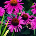 Crazy For Coneflowers by Kendall McKernon