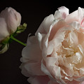 Cream And Pink by Don Spenner