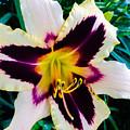 Cream And Purple Lily Macro by Jennifer Kohler