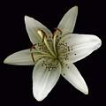 Cream Lily by Deborah J Humphries