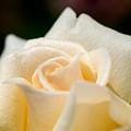 Cream Rose Kisses by Lisa Knechtel