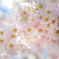 Creamy Blossoms by Karen Jorstad