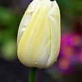 Creamy Pale Lemon Tulip by Susie Peek