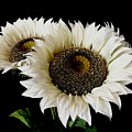 Creamy Sunflowers by Jeannie Rhode
