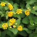 Creative Yellow Lantanas by Linda Phelps