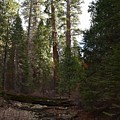 Creek And Giant Sequoias In Kings Canyon California by Will Sylwester