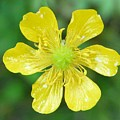 Creeping Buttercup by Valerie Ornstein