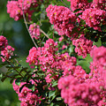 Crepe Myrtle Blossoms 2 by Ruth Housley