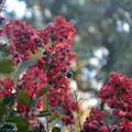 Crepe Myrtle Tree Blossoms by Luv Photography