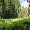 Crescent Meadow In Sequoia by Heidi Smith