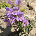 Crested Beardtongue by Ed Mosier