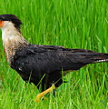 Crested Caracara 2 by Amy Spear