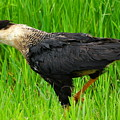 Crested Caracara 3 by Amy Spear