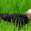 Crested Caracara 4 by Amy Spear