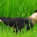 Crested Caracara 5 by Amy Spear