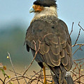 Crested Caracara by Larry Linton