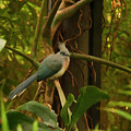 Crested Coua Digital Oil  by Chris Flees
