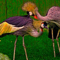 Crested Cranes by Chris Lord