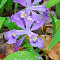 Crested Dwarf Iris by Alan Lenk