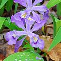 Crested Dwarf Iris by Alan Lenk