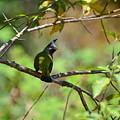 Crested Finchbill 2 by David Hohmann