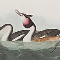 Crested Grebe by John James Audubon