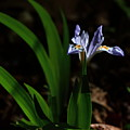 Crested Iris In Lost Valley by Michael Dougherty