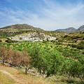 Crete Olive Grove by Sophie McAulay